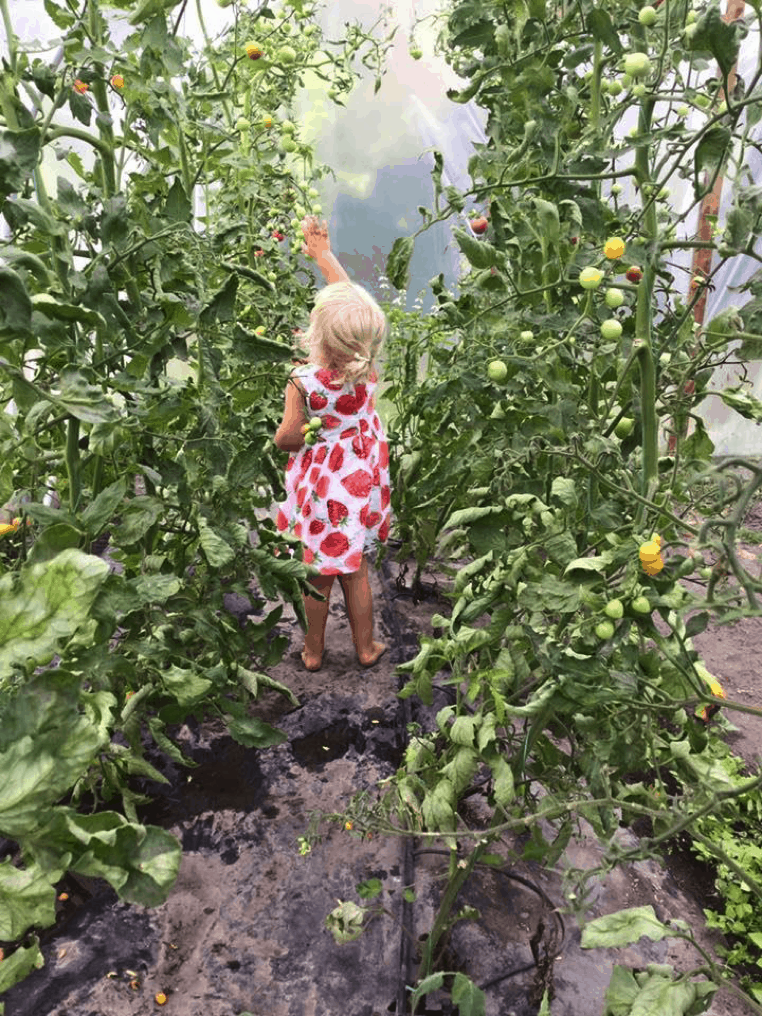 Person picking tomatoes.